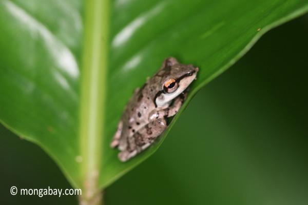 Tree frog [java_0337]