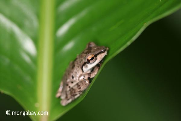 Tree frog [java_0338]