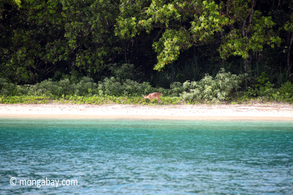 Deer on the beach at Peucang Island [java_0424]