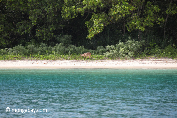 Deer on the beach at Peucang Island [java_0427]