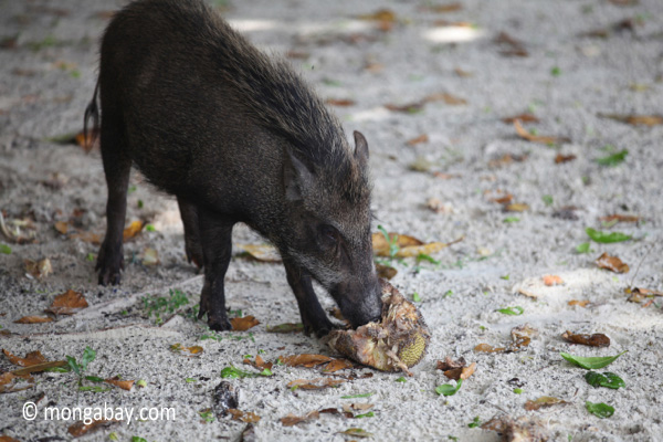 Wild boar sow eating a coconut on Peucang Island