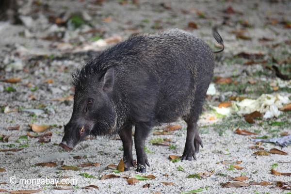 Male wild boar [java_0480]
