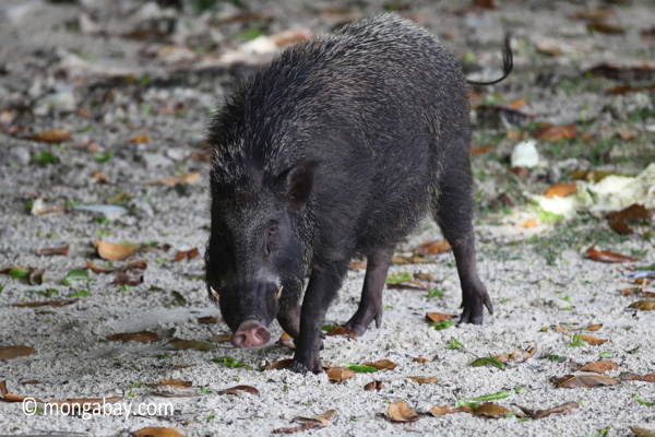 Male wild boar [java_0482]