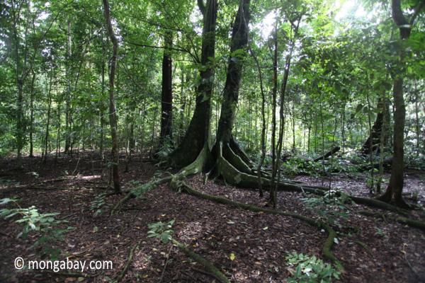 Peucang Island rainforest [java_0497]