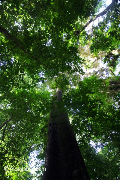 Peucang Island forest [java_0508]