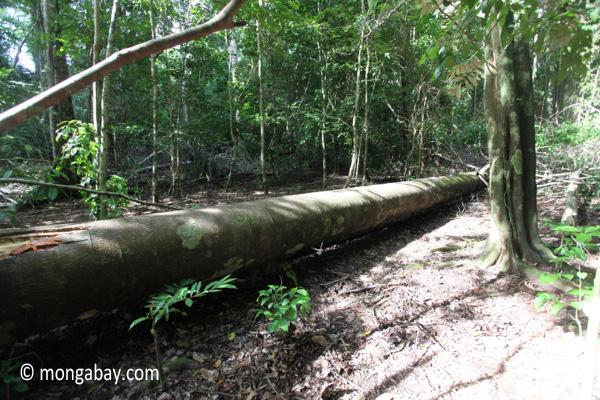 Fallen rainforest log [java_0516]