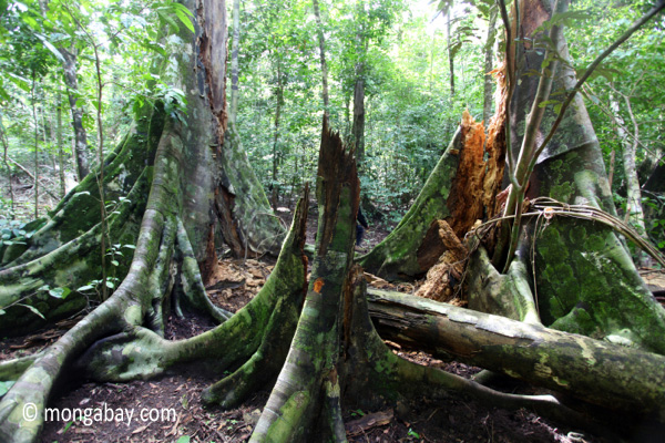 Buttress roots after a tree fall [java_0518]