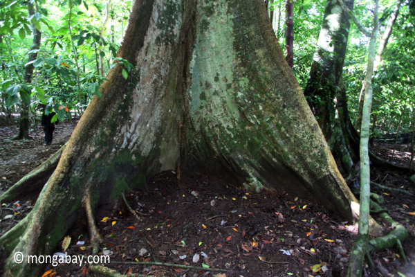 High buttress roots of a rainforest tree [java_0523]