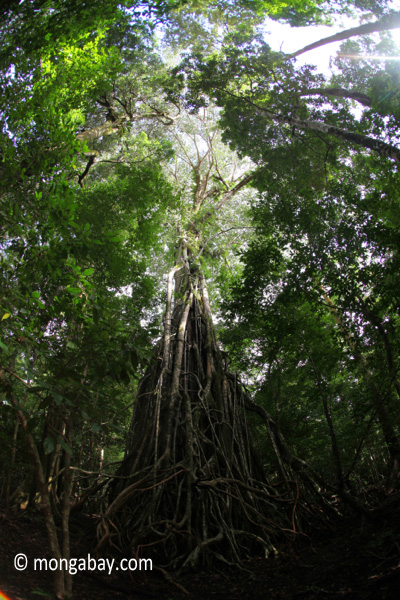 Gigantic strangler fig
