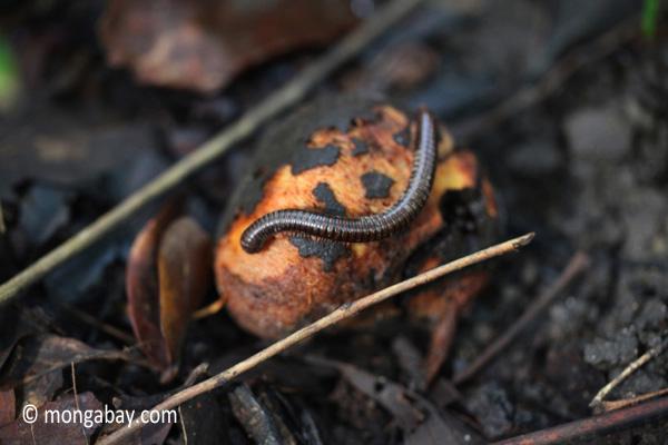 Millipede eating fallen fruit on the forest floor