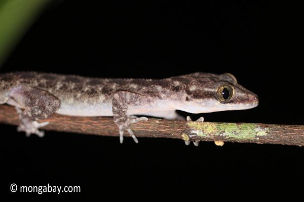 Gecko [java_0617]