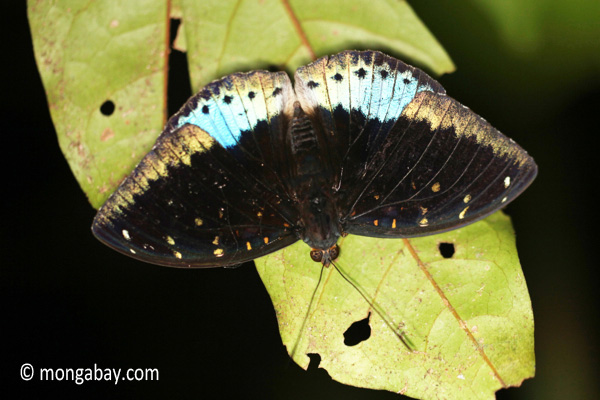 Blue and black butterfly [java_0624]