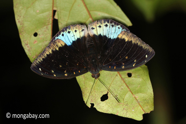 Blue and black butterfly [java_0625]