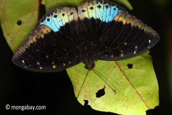 Blue and black butterfly [java_0628]