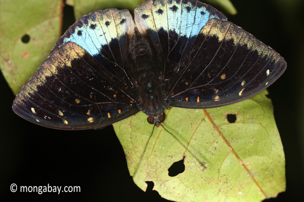 Blue and black butterfly [java_0629]