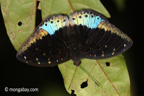Blue and black butterfly [java_0631]