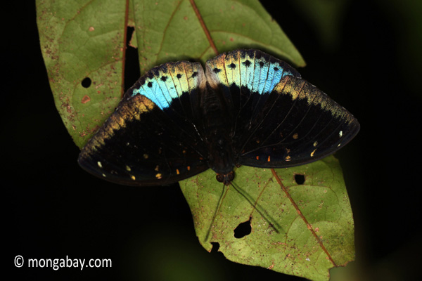 Blue and black butterfly [java_0632]