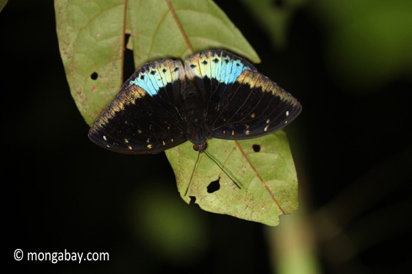 Blue and black butterfly [java_0633]