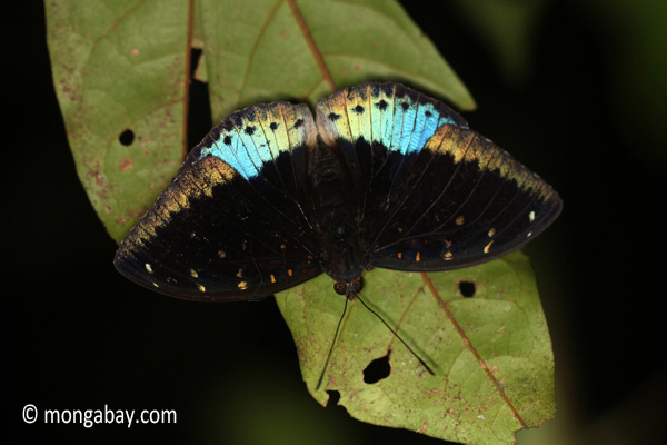 Blue and black butterfly [java_0634]