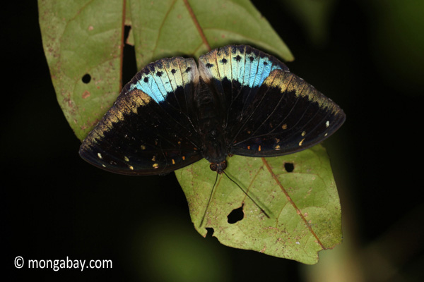 Blue and black butterfly [java_0636]