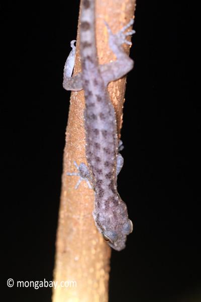Gecko [java_0643]