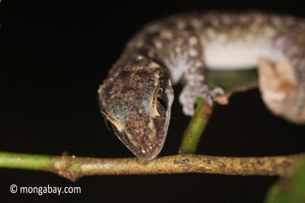 Gecko [java_0654]