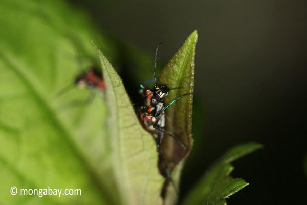 Tiger beetle [java_0677]