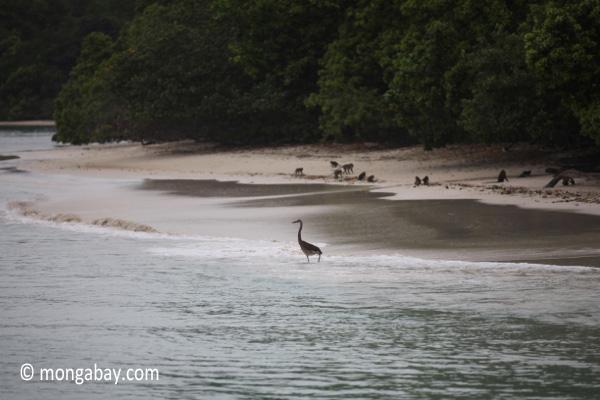 Heron on a tropical beach [java_0682]