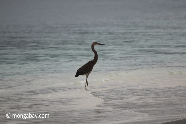 Heron on a tropical beach [java_0693]