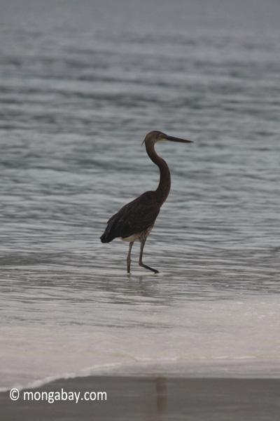 Heron on a tropical beach [java_0696]