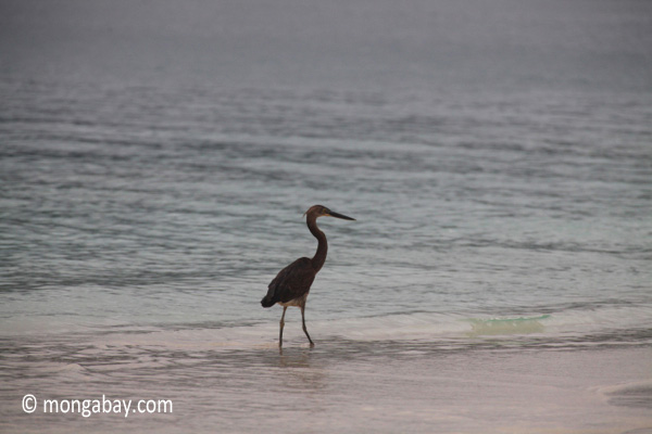 Dusky heron on a tropical beach