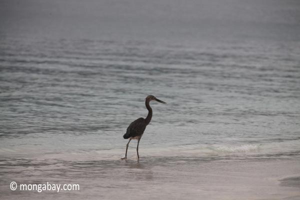 Heron on a tropical beach [java_0698]