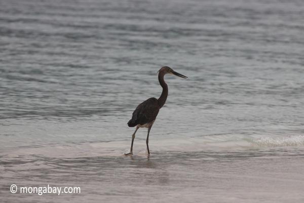 Heron on a tropical beach [java_0699]