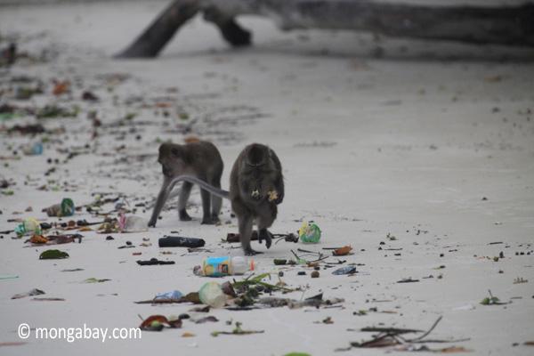 Long-tailed macaques rummaging through trash on a beach [java_0702]