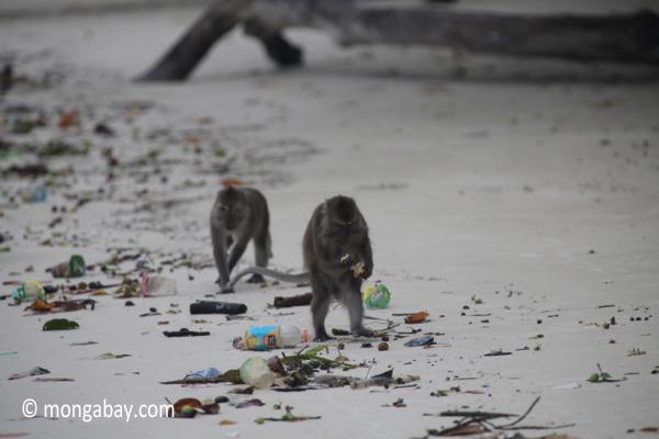 Long-tailed macaques rummaging through trash on a beach [java_0703]