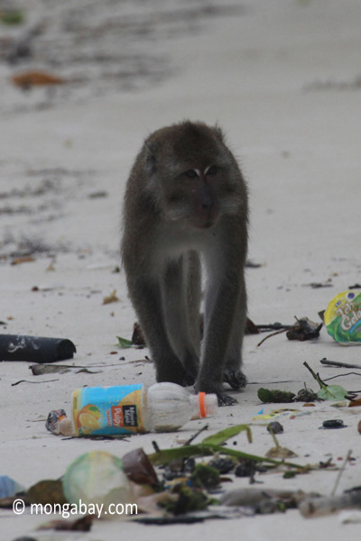 Long-tailed macaques rummaging through trash on a beach [java_0705]