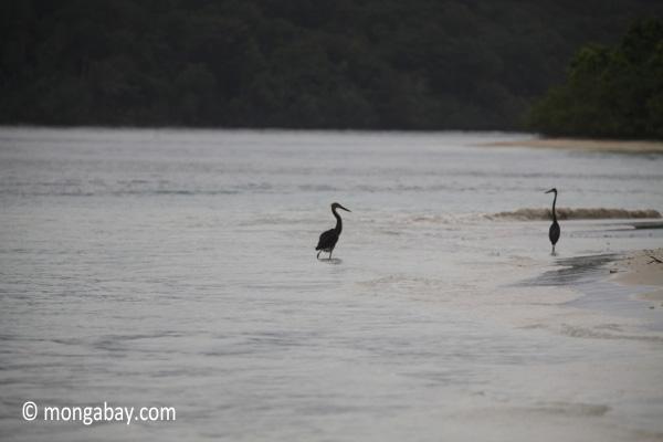 Herons on a tropical beach [java_0707]