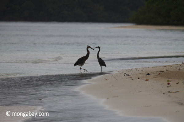 Herons on a tropical beach