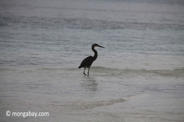 Heron on a tropical beach [java_0713]