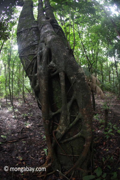 Strangler fig beginning to take hold on a tree