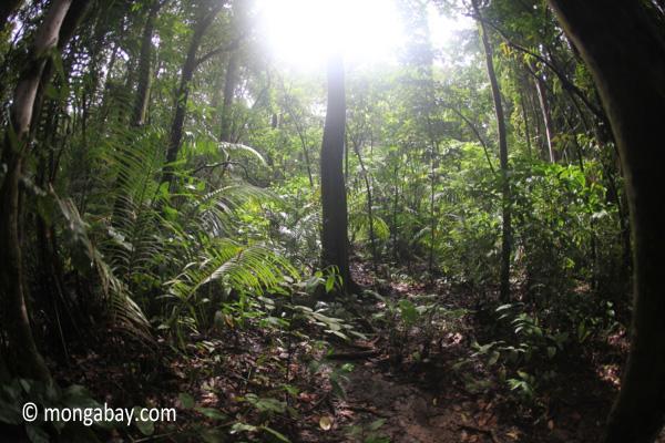 Javan rainforest [java_0739]