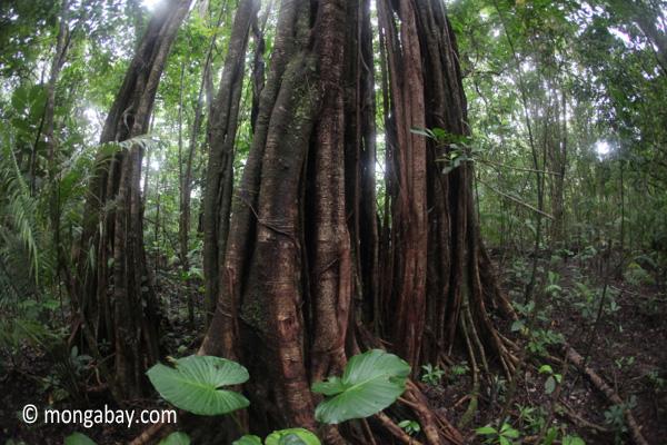 Rainforest tree in Ujung Kulon NP