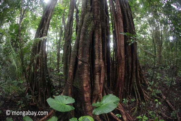 Rain forest tree in Ujung Kulon NP
