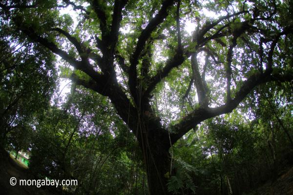 Jungle tree on Handeuleum Island