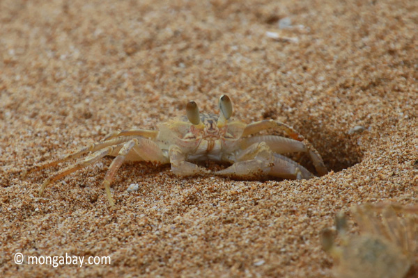 Ghost crabs on the beach [java_0825]
