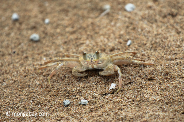 Ghost crabs on the beach [java_0829]