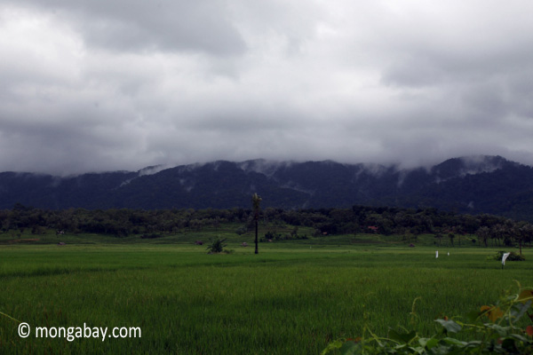 Rice paddies with the mountains of Ujung Kulon National Park behind