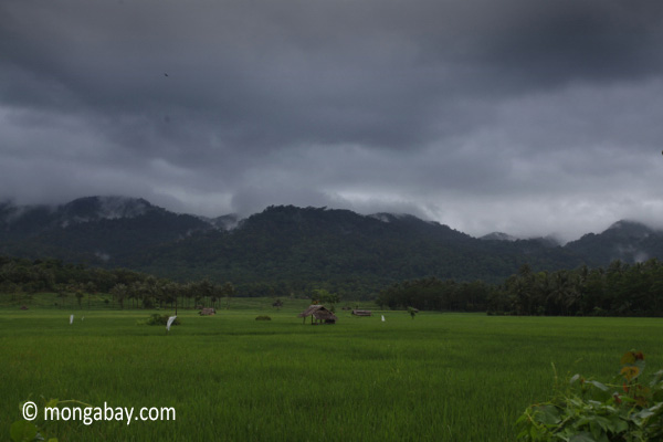 Rice fields with the forested mountains of Ujung Kulon National Park
