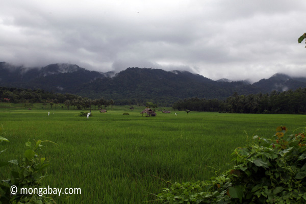 Paddy rice and the forested mountains of Ujung Kulon behind
