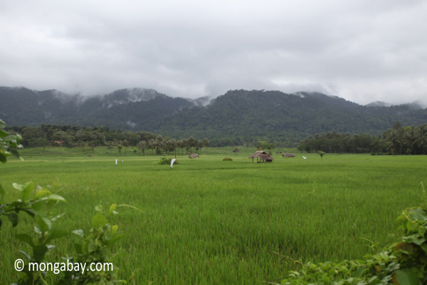 Rice paddies and the forested mountains of Ujung Kulon National Park